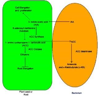 Plant growth promoting rhizobacteria a critical review